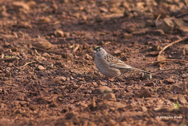 Golden-crowned Sparrow tries to blend in near Woodburn, OR