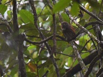Chestnut-backed Owlet (Glaucidium castanotum)