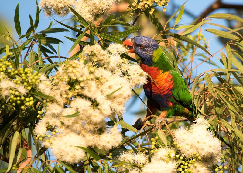 Cronulla parrots 8.jpg