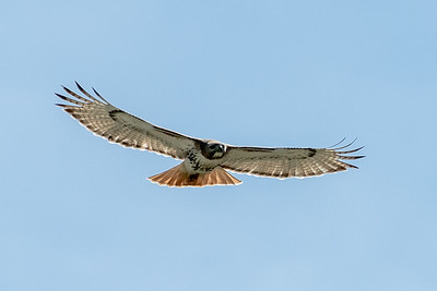 Red Tail Hawk, Great Blue Heron and American Eagle