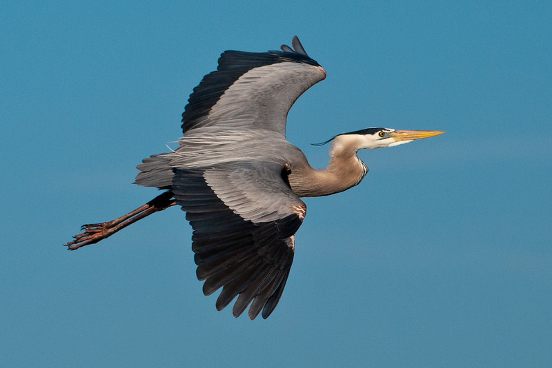 Heron - Great Blue -  Viera Wetlands, FL - 03