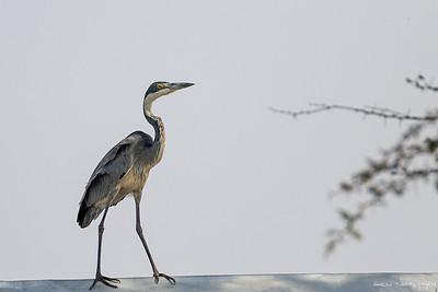 Gråhegre (Grey Heron)