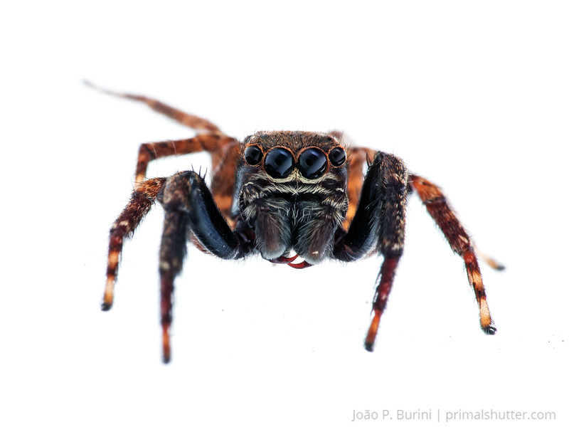 Jumping spider (Salticidae) Tapiraí, São Paulo, Brazil Atlantic forest (rainforest strictu sensu) November 2017