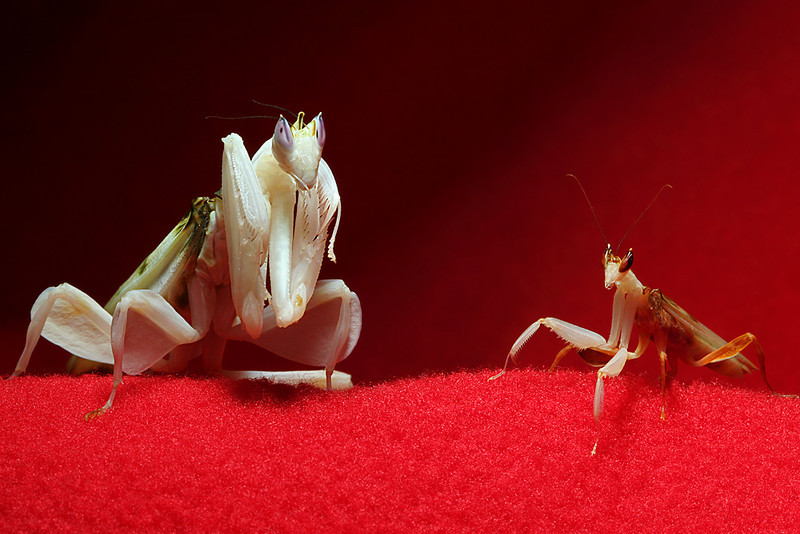 Adult female Orchid mantis on left and adult male Orchid on right.