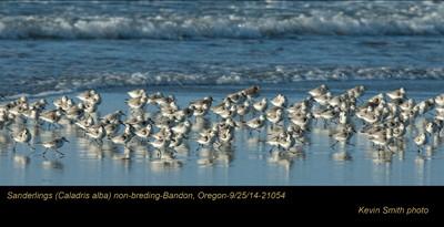 Sanderlings 21054.jpg