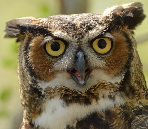 Raptors - Hawks, Eagles, Owls
