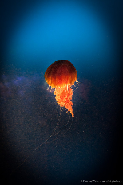 Woodget-140526-0393--aquarium, aquarium fish, blue, dark, jellyfish.jpg