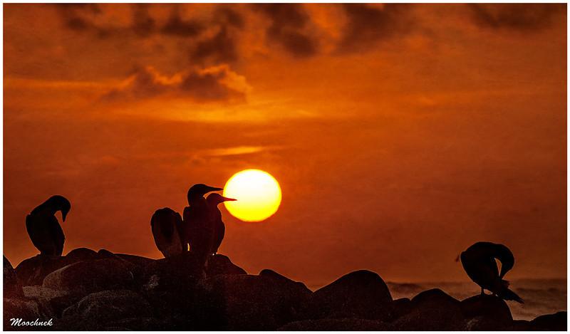 Boobie Sunset in the Galapagos