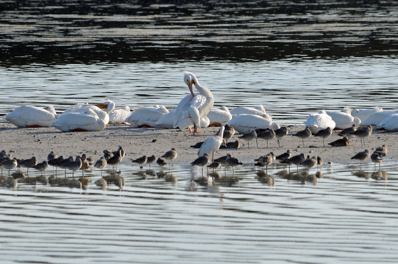 white pelican at Ding. second largest flying bird in NA.