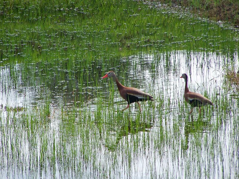 7_8_19 Black Bellied Whistling Ducks.jpg