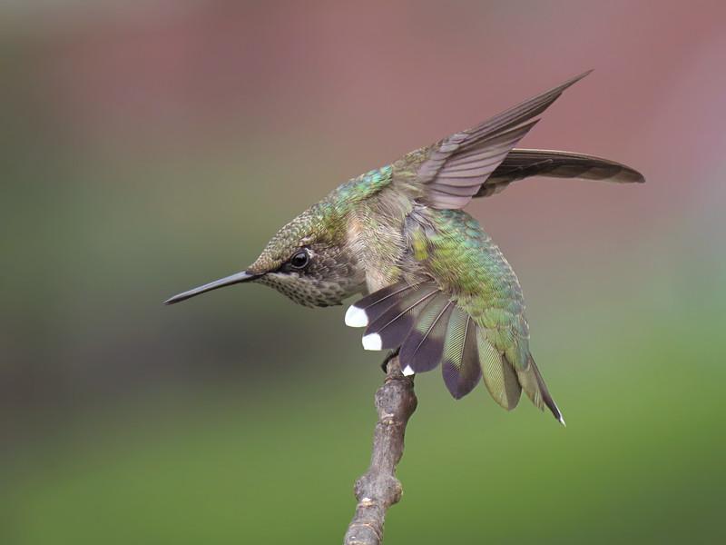 sx50_hummingbird_boas_366.jpg