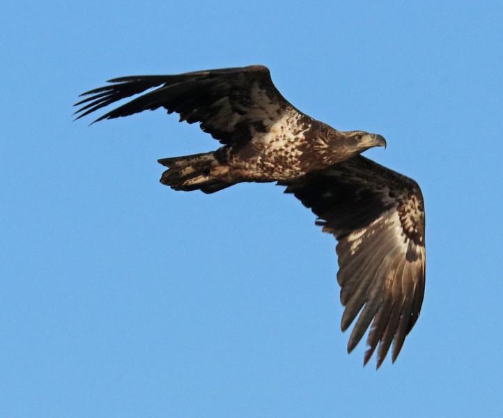 Bald eagle 73