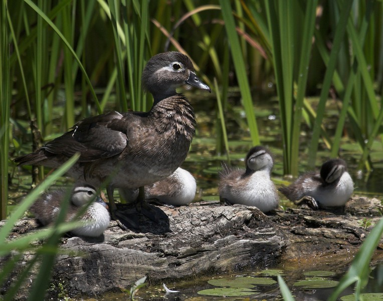 wood duck and chicks-01.jpg
