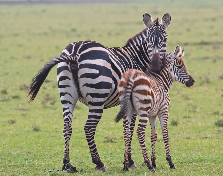 Mum and Young, Common Zebra