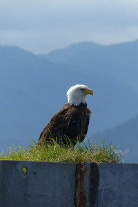 Bald Eagle on the Ferry Dolphin - Vertical August 2015, Cynthia Meyer, Tenakee Springs, Alaska P1080633