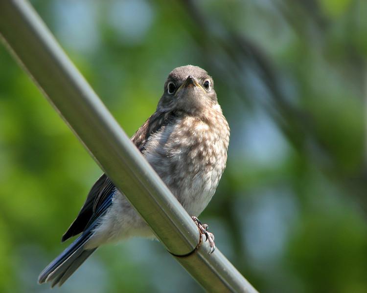 bluebird_fledgling_6753.jpg
