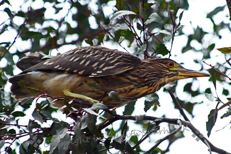 Juvenile Black-Crowned Night Heron.jpg