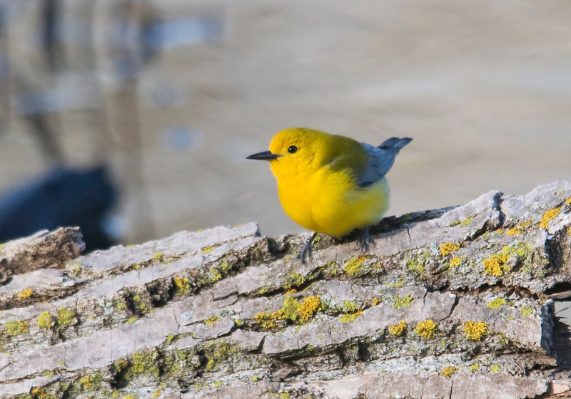 Warbler - Prothonotary - Maplewood Nature Center - MN