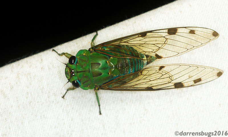 A lovely blue-green cicada at the mercury-vapor light in Panama.