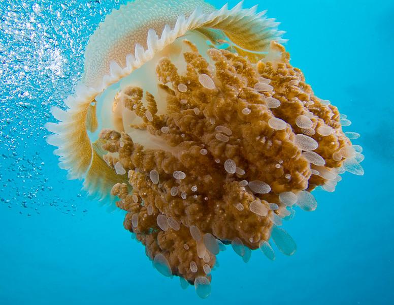 jellyfish1437.jpg