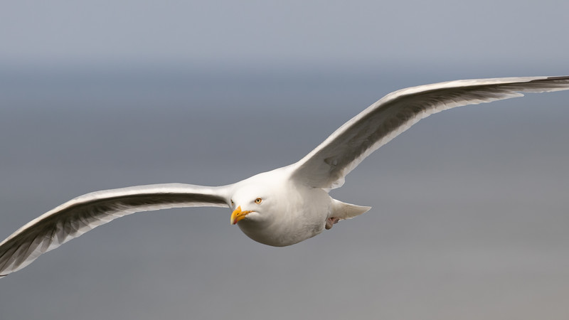 gull in flight 1343-1343.jpg
