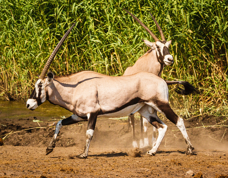 Gazelles go at it