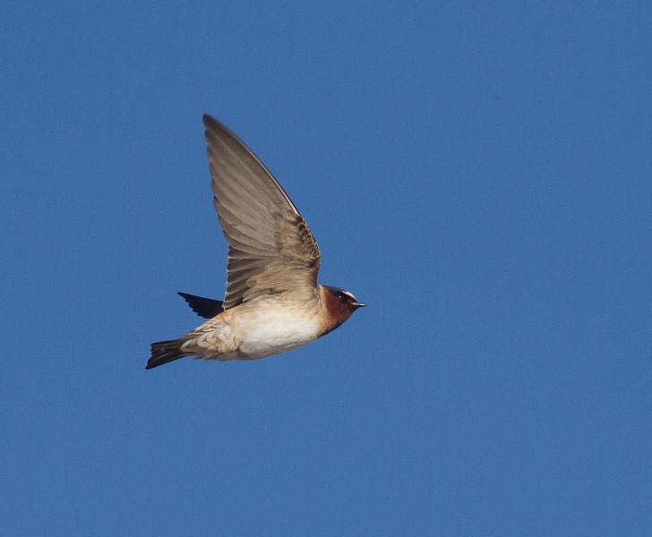 Cliff Swallow Kimmes-Tobin Wetlands Douglas County WIIMG_7805.jpg