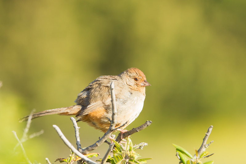 California Towhee - Windy Hill OSP, San Mateo, CA, USA
