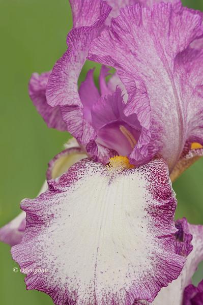 Bearded Iris Playback