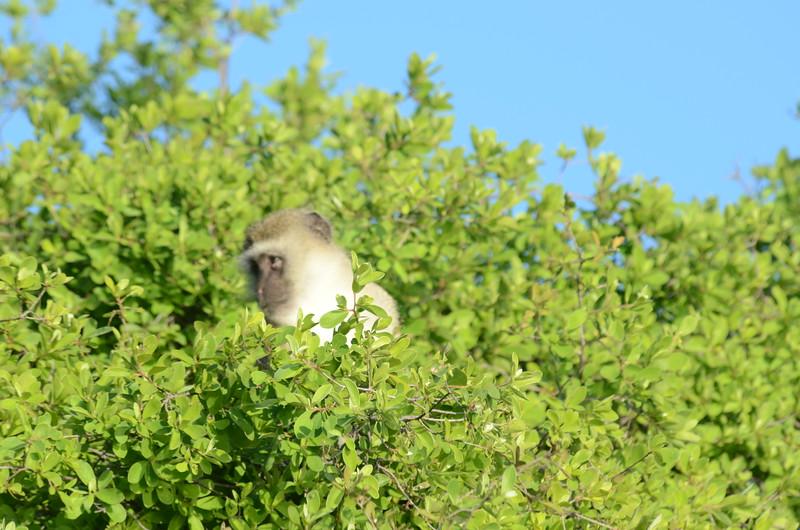 149 - Vervet Monkey - Zambia - Anne Davis