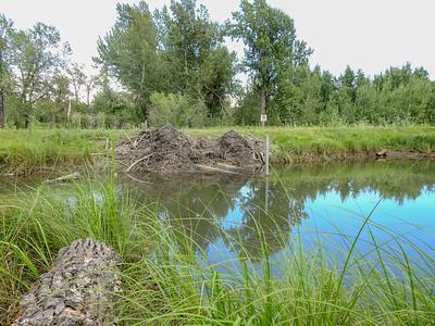 7-29-16 *Beavers - FCPP Repairing Dam