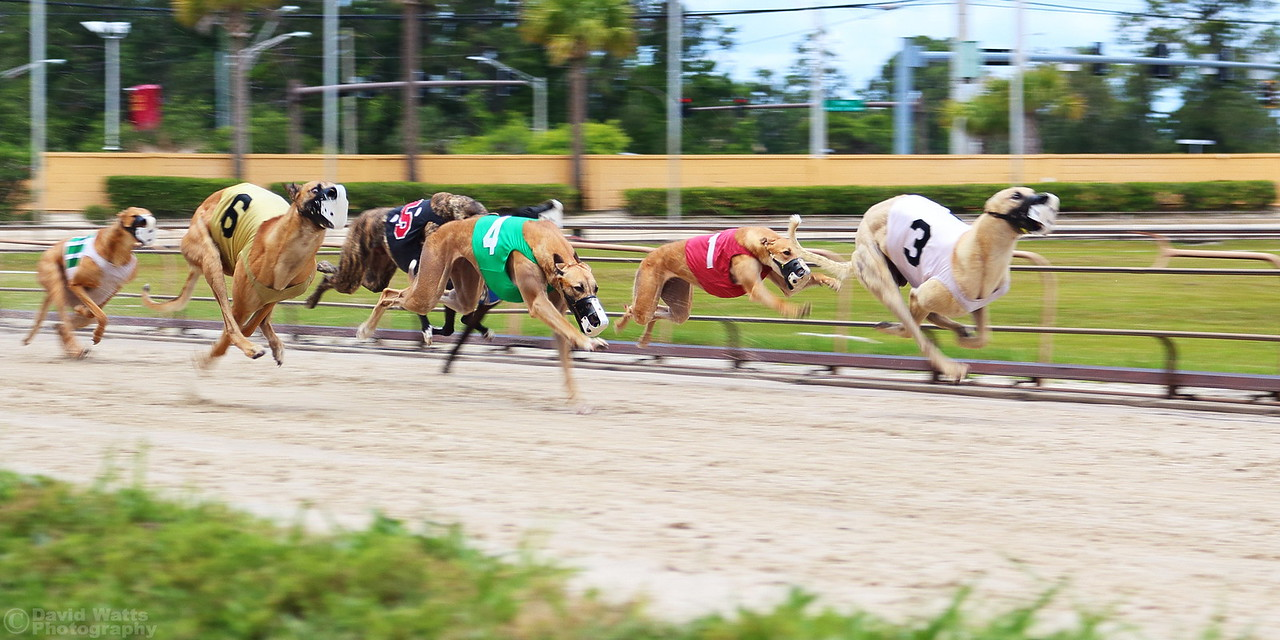 Greyhound Racing Bestbet Orange Park