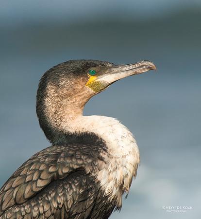 White-breasted Cormorant (Phalacrocorax lucidus)
