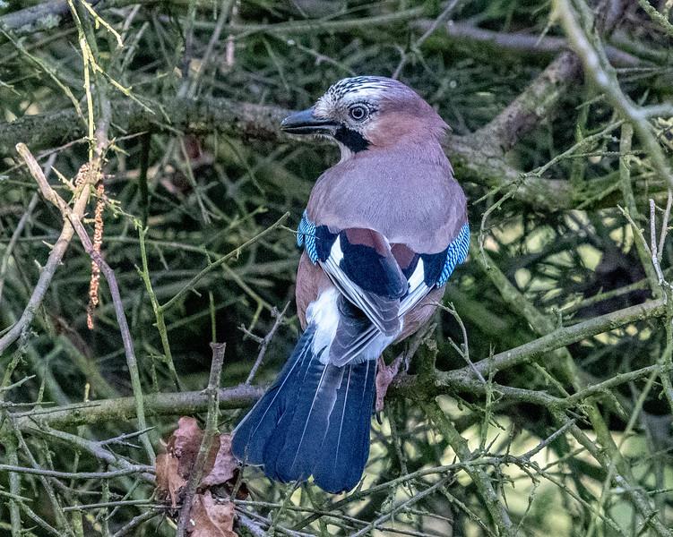 A Jay at Pulborough Brooks-48.jpg