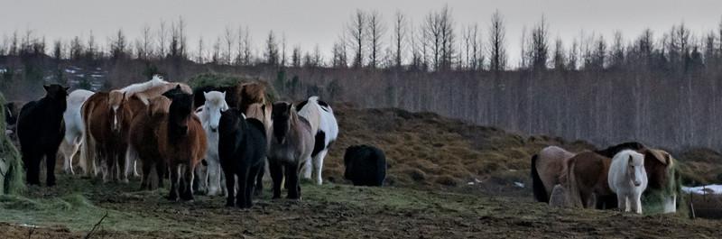 Icelandic Horses-3458.jpg