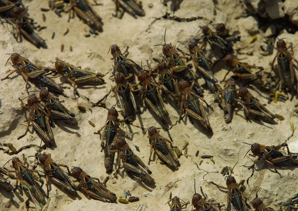 . <p>30. LOCUSTS <p>All in all, one of the better plagues, if you had to choose.   (Natalie Behring-Chisholm/Getty Images)