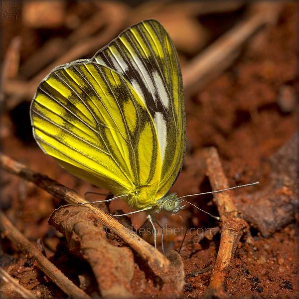 Pioneer Butterfly-Belenois Aurota.jpg