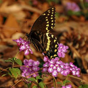 DSC_2873_butterfly_crop