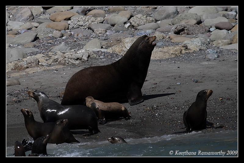 California Sea Lions, Islas Coronados, Mexico, March 2009