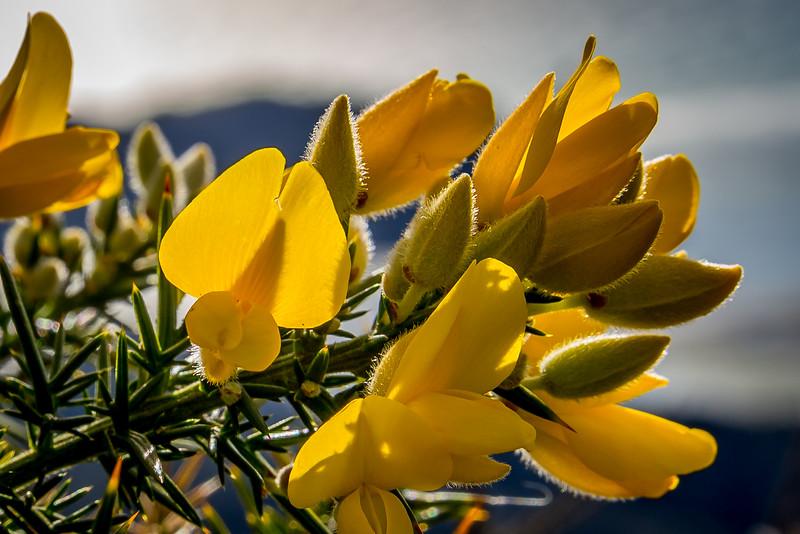 Schöne Blüte des ungeliebten Gorse, einem Unkraut in Neuseeland