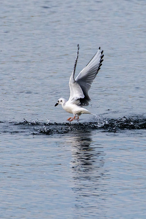 Bonaparate's Gull
