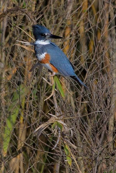 zAnahuac 12-19-16 281B, Belted Kingfisher, small.jpg