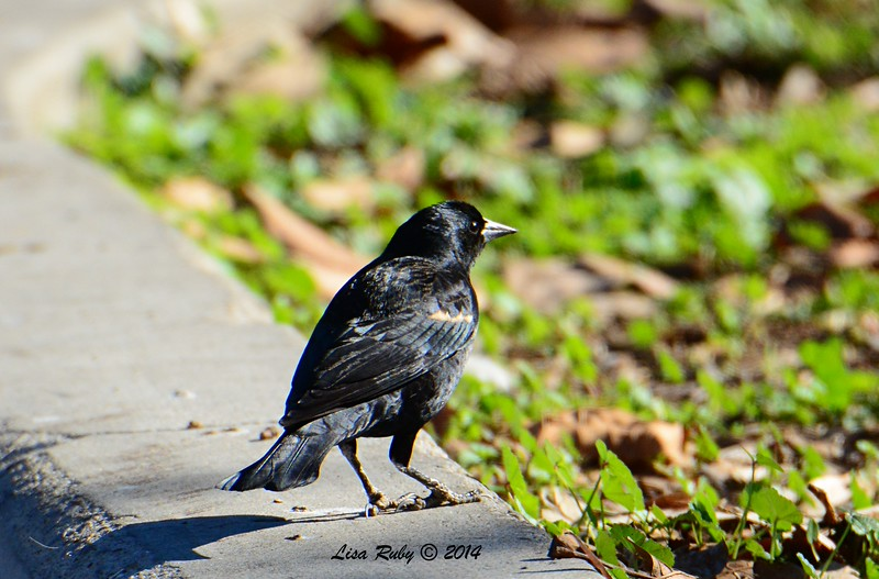 Tri-colored Blackbird - 12/29/2014 - Lindo Lakes