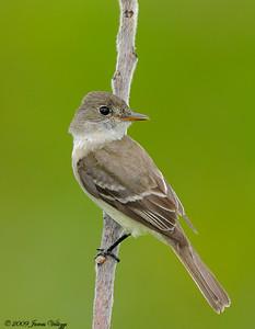 Willow Flycatcher, Empidonax trailli