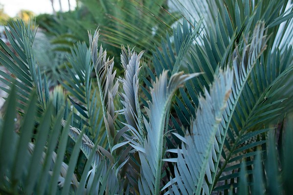 Cycads flush and orchids bloom in Summer 8-30-2016