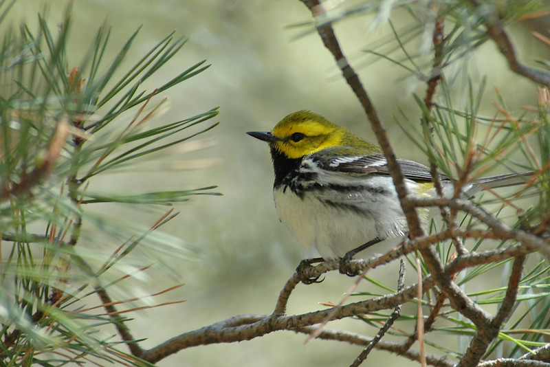 Warbler - Black-throated Green - Long Point - Ontario, Canada