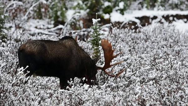 10-15-14 Bull Moose Video