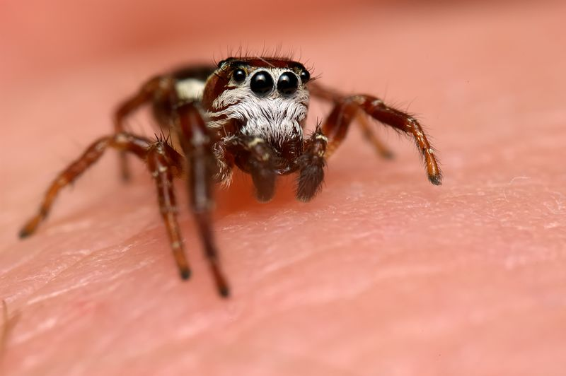 Jumping Spiders are harmless to humans but deadly to there prey.