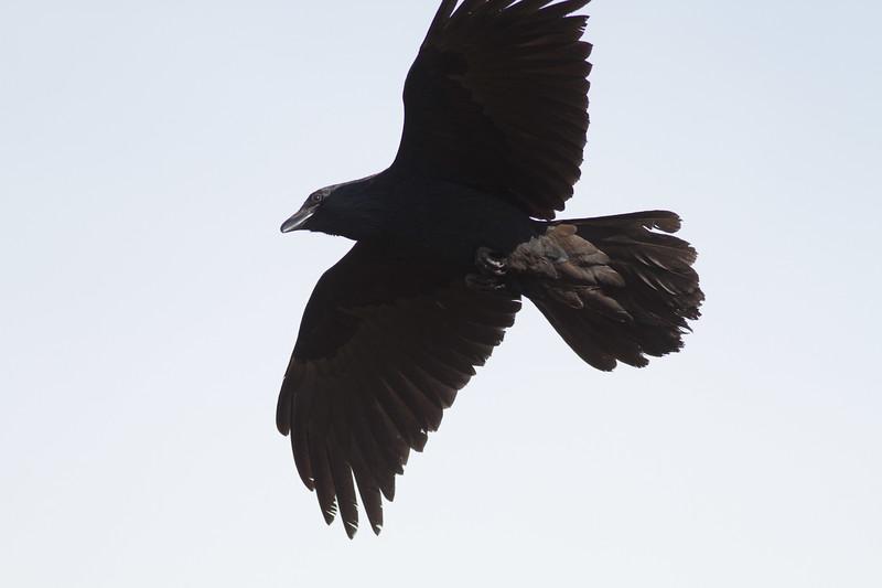 Common Raven in flight over Hawk Ridge Bird Observatory Duluth MN IMG_0259.jpg