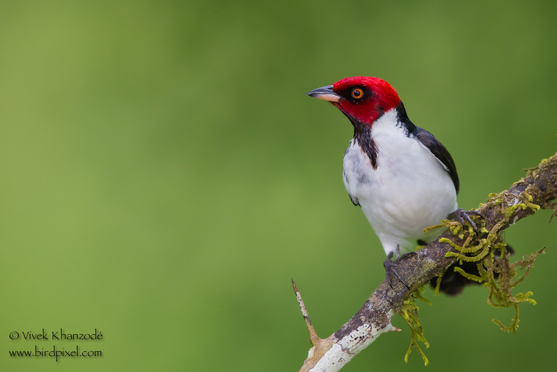 Red-capped Cardinal - Amazonia Lodge, Nr. Manu National Park, Peru